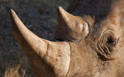 What do rams and rhinos have in common with feet